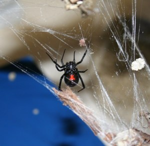 black_widow_spider1
