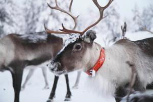 Reindeer wearing orange collar