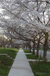 sb-cherry-blossoms-trees-in-nashville-5