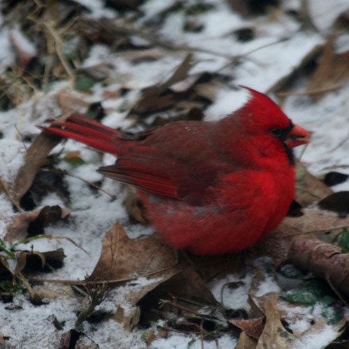sq-northern-cardinal