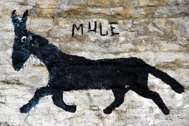 Mule -Bluff