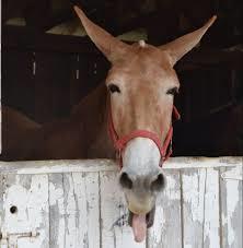 Mule day 2019